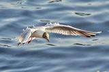 Речна чайка ; comments:7