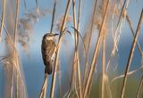 Тръстиково шаварче (Acrocephalus arundinaceus) ; comments:10