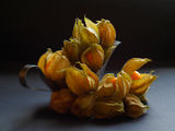 Physalis ; comments:10