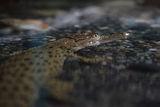 Малък крокодил ; Comments:15