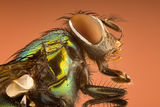 Green bottle fly (Lucilia sericata) ; Comments:5