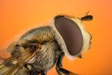 Сирфиднa мухa  - Syrphidae ; Comments:5