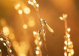 Златен залез ; comments:25