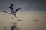 Бягащо по вода фламинго... ; comments:19