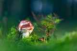 Червена мухоморка (Amanita muscaria) ; comments:20