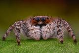 Скачащо паяце ; comments:5