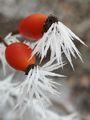 Зимните бодли на шипката. :) ; comments:13