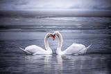 Два лебеда докосвайки леко клюнове, може би в знак на любов.. езеро Dobbioaco Доломити... ; comments:20