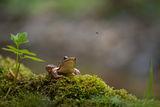Горска дългокрака жаба (Rana dalmatina) ; comments:55