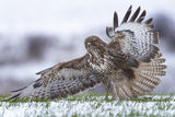 Buteo buteo ; comments:17
