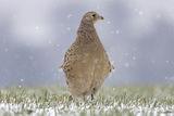 Колхидски фазан/ Phasianus colchicus ; comments:20