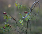 Млад жълтокоремник (Pseudopus apodus) ; comments:54