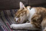 Гложенска котка ; comments:4
