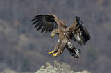 Морски орел ; comments:24