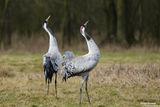 Сив жерав (Grus grus) Common crane ; comments:8