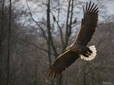 White-tailed eagle (Haliaeetus albicilla) ; comments:9