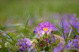 Пролетни цветя в лилаво ; comments:6