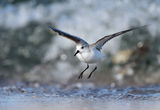 Трипръст брегобегач лети ... ; comments:6