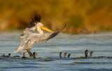 Къдроглав пеликан и приятели корморани ; comments:18