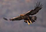 скален орел ; comments:14