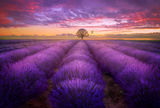 Lavender sunset ; comments:21