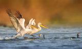 Приводняване (Къдроглави пеликани) ; comments:12
