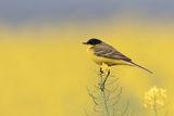 Жълта черноглава стърчиопашка ; comments:21