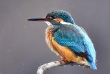 Земеродно рибарче (Alcedo atthis) ; comments:24