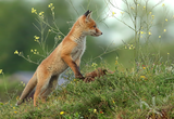 Лисица (Vulpes vulpes) ; comments:33