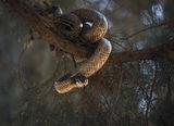 Пъстър смок (Elaphe sauromates) ; comments:70