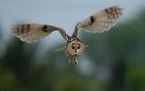 Горска ушата сова ; comments:36