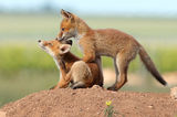 Лисица (Vulpes vulpes) ; comments:24