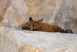 Сънливият следобед на лисичето ; comments:20