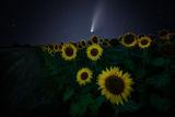 Кометата Neowise и слънчогледите ; comments:5