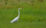 Стройна бяла птица с жълт клюн на зелен фон ; comments:4