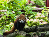 Red Panda ; comments:5