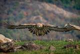 Скален орел по долината на р. Арда... ; comments:19