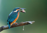 Alcedo atthis ; comments:32