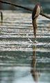 Малък воден бик на риболов. ; comments:15
