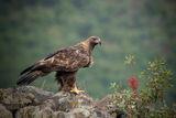 Скален орел... ; comments:21