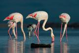 Розовите перли на Атанасовско езеро ; comments:42