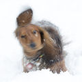 Дакел в снега ; comments:2