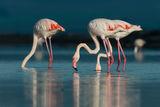 Розово фламинго ; comments:23
