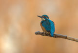 Alcedo atthis ; comments:6
