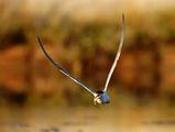 Речна рибарка ; comments:11