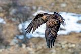 Скален орел /Aquila chrysaetos/.... ; comments:7