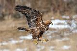 Скален орел /Aquila chrysaetos/... ; comments:5
