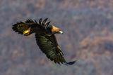 Скален орел ; comments:13
