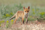 Лисица - (Vulpes vulpes) ; comments:8