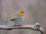 Erithacus rubecula ; comments:8